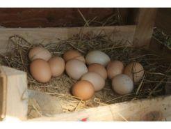 Organik Köy Tavuğu Yumurtası